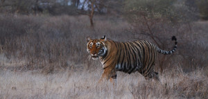 Wildlife Rajasthan Tour